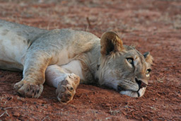 Lion Conservation Fund: Samburu Project